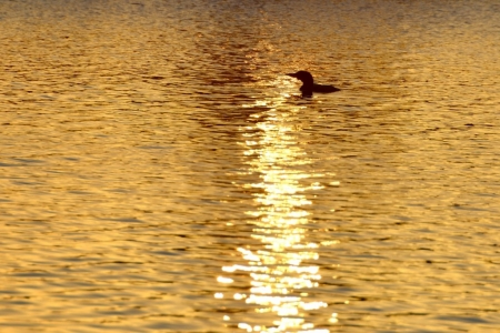 Loon at Sunset
